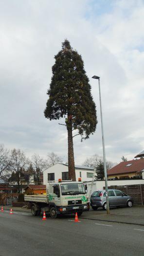 Baumfaellen-mamutbaum1